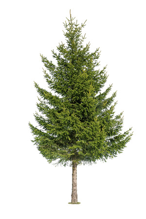 firs: Close up of tree isolated on white background