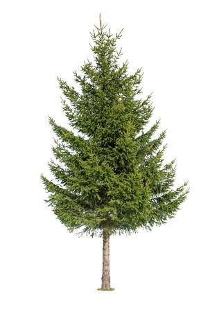 sapin: Gros plan d'un arbre isol� sur fond blanc