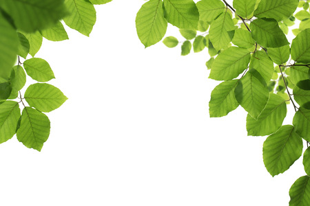 Spring frame, close up of green leaves isolated on white background with copy space