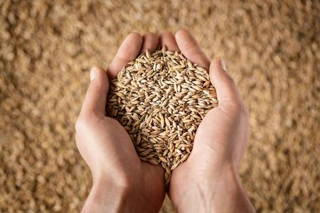 Harvest, Nahaufnahme der Hände des Landwirts hält Weizenkörner Standard-Bild - 44296300