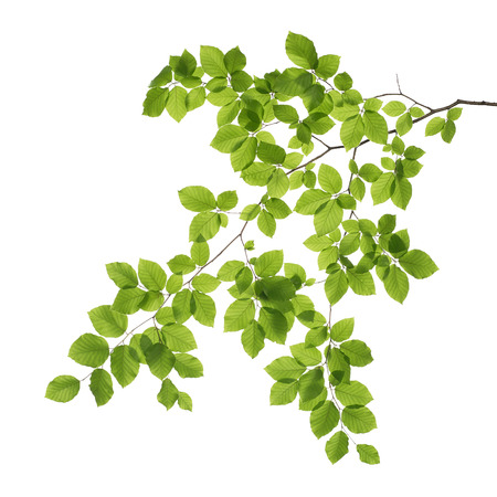 Close up of a tree branch isolated on white background
