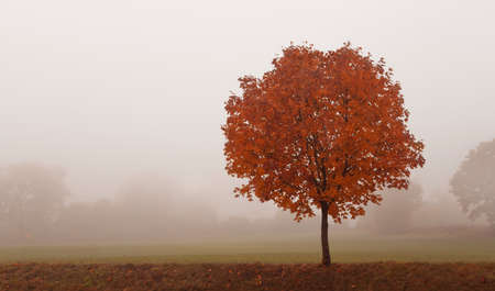 foggy: Autumn rural landscape, lonely tree on the foggy morning with copy space