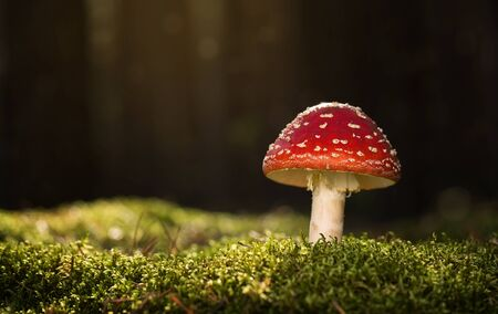mortally: Toadstool, close up of a poisonous mushroom in the forest with copy space