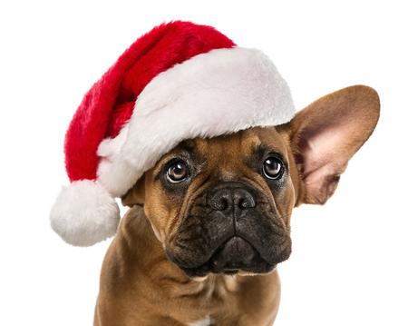 흰색 배경에 고립 된 산타 클로스 모자와 함께 귀여운, 작은 프랑스 불독의 닫습니다