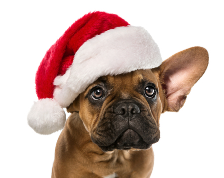 Nahaufnahme von niedlichen, kleinen Französisch Bulldog mit Weihnachtsmann-Hut auf weißem Hintergrund