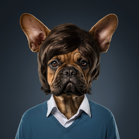 Cute bulldog portrait with fancy haircut, wearing human clothes, over blue background Stock Photo