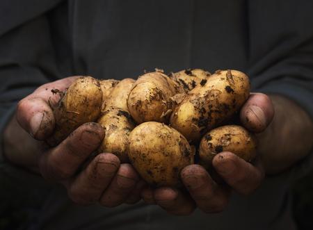 복사 공간이 신선한 감자의 더미를 들고 남성 손을 가까이 스톡 콘텐츠