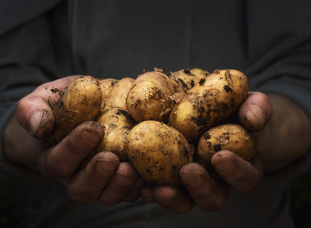 Close up of male hands holding pile of fresh potatoes with copy space