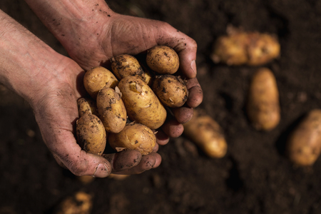 dirty: Close up of farmers hands holding pile of freshly picked potatoes with copy space Stock Photo