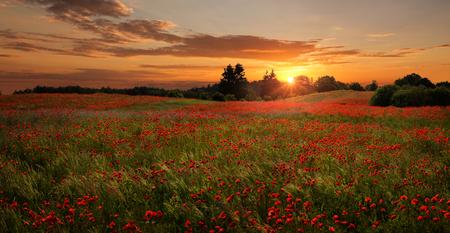Panoramablick des schönen, roten Mohnblumenfeldes bei dem Sonnenuntergang mit Kopienraum