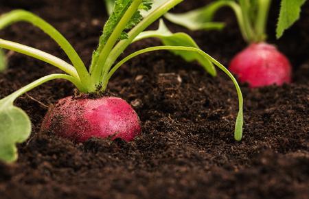 Nahaufnahme eines organischen, gesunden Rettiches wächst aus dem Boden mit Kopie Raum