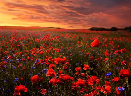 Schöne Mohn Feld bei Sonnenuntergang mit Kopie Raum