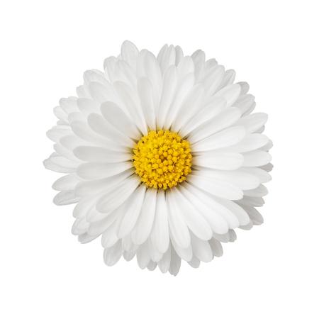 Cerca de flor de Margarita aislado sobre fondo blanco.