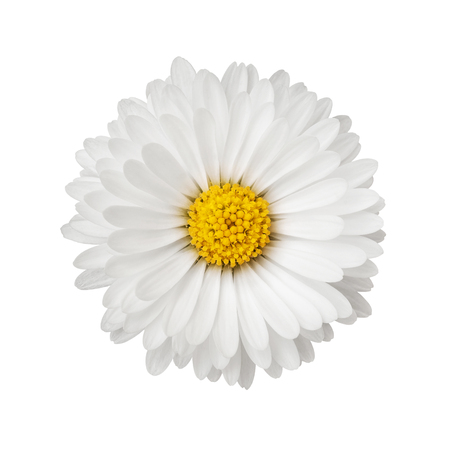 Close up of daisy flower isolated on white background