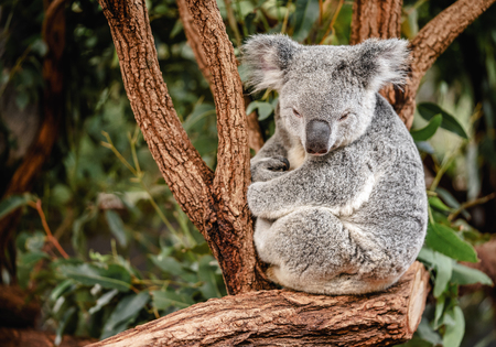 Close up of koala sitting on the tree with copy space