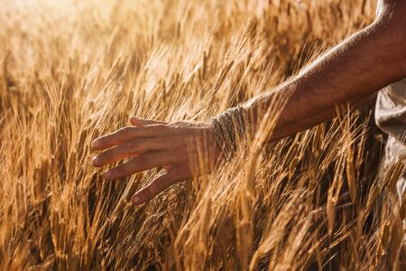 Close up of male farmer hand in the organic einkorn wheat field at the sunset with copy space