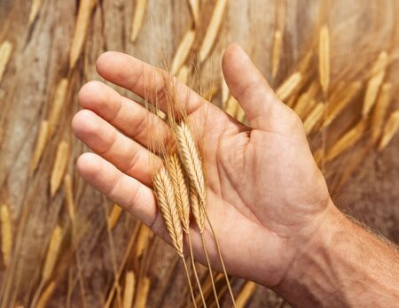 Harvesting concept. Close up of wheat ears on farmers hand over wooden background