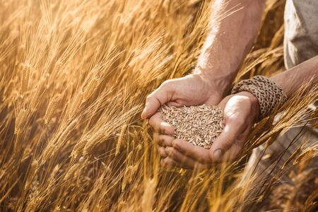 Close up of farmers hands holding organic einkorn wheat seed on the field at the sunset  Stock fotó