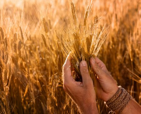 Harvesting concept. Close up of farmers hands checking the quality of ears of wheat at the sunset with copy space