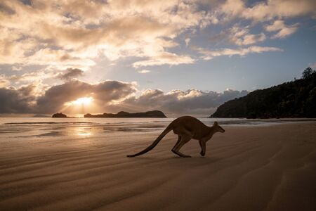 Silhouette of a kangaroo on the beach at the sunrise