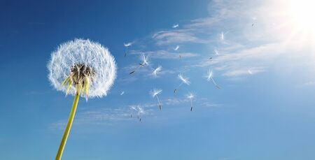 Dandelion in the wind over blue sky background with copy space