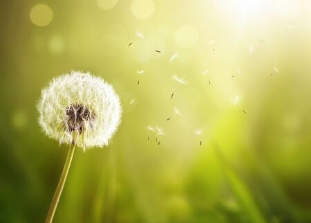 Close up of a dandelion in the wind over defocused green nature background with copy space
