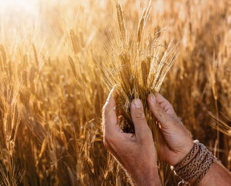Harvesting concept. Close up of farmer's hands checking the quality of ears of wheat at the sunset with copy space