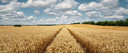 Panoramic view of a wheat field on a sunny day, rural background with copy space