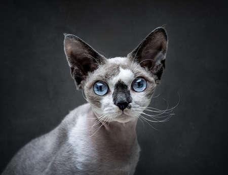 Portrait of Devon Rex cat over dark gray background