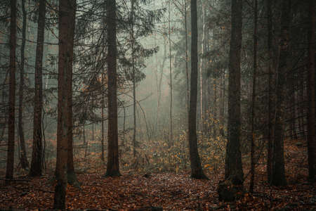 Moody, empty forest background on a foggy morning with copy space 版權商用圖片