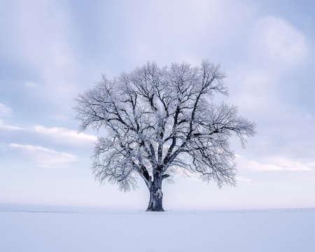 Single oak tree on awinter morning with copy space 版權商用圖片