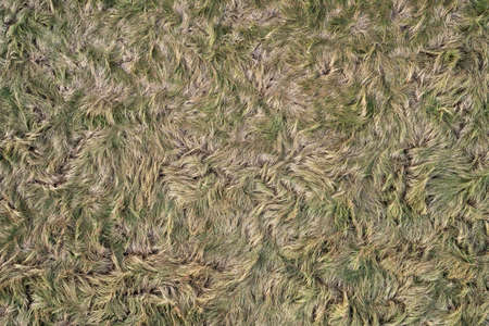 Grass / fur texture, aerial view of empty grass field with copy space