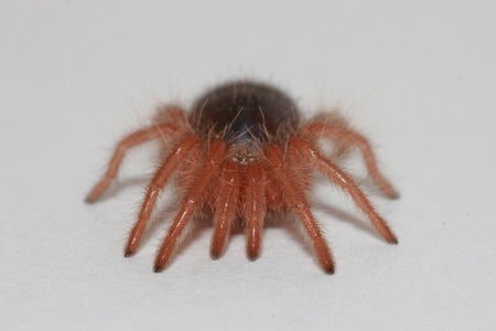 chaco: 2 month Chaco Golden Knee Tarantula
