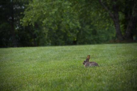 bunnie: rabbit in field