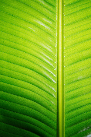 original ecological: Wet banana leaf with water drops colorful.