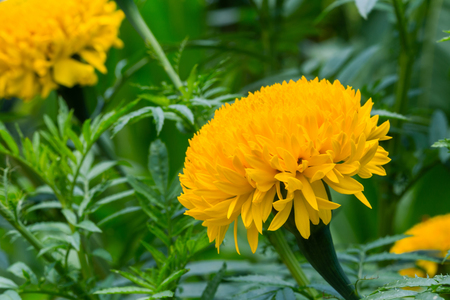 Yellow marigolds are blooming in the garden.