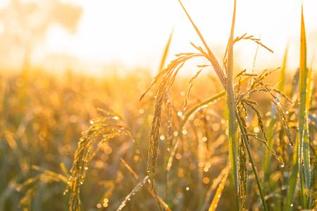 Arroz amarillo dorado y sol de la mañana
