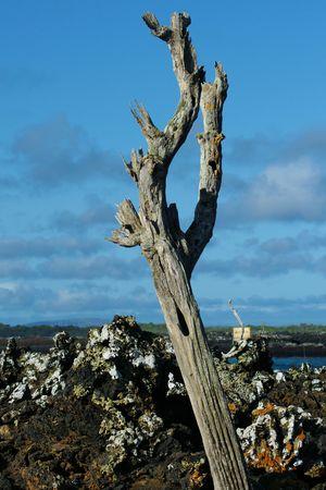 scruple: dead tree, Galapagos Stock Photo