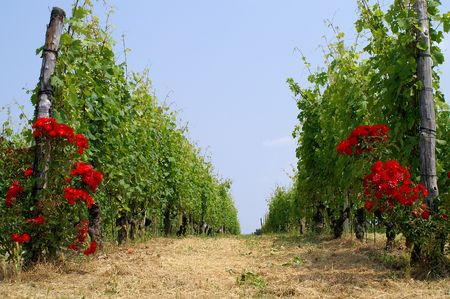 rosoideae: Vineyard in Italy Stock Photo