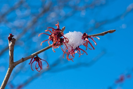 witchhazel: red blossom of a witch-hazel in front of blue winter-sky Stock Photo