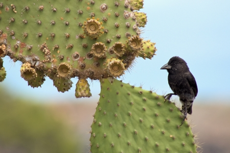 black darwin-finch on a prickly-pear, Galapagos-Inseln