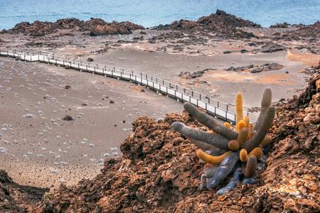 bartolome: volcano island St. Bartolome, Galapagos, Ecuador with cactus plant Brachycereus Nesioticus