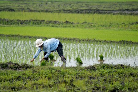 tedious: Rice field in Vietnam with rice farmer  planting the young rice plants