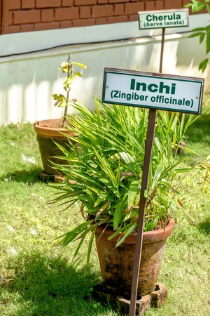 Ginger plant with name tag in a clay pot in an Ayurvedic herb garden Imagens