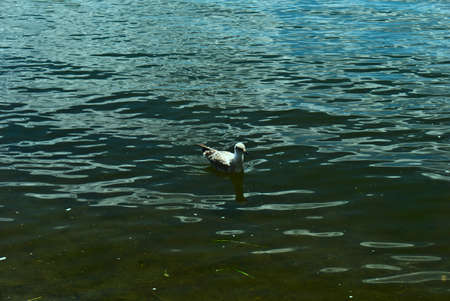 The Calm seagull (Larus) swims at in saint Laurent river, rapides park, Montreal, QC, Canada