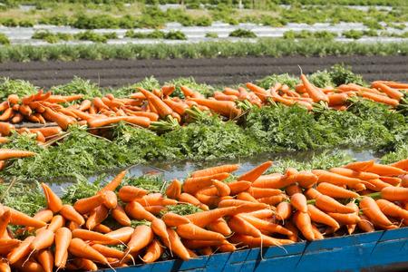 Fresh carrots from the farm