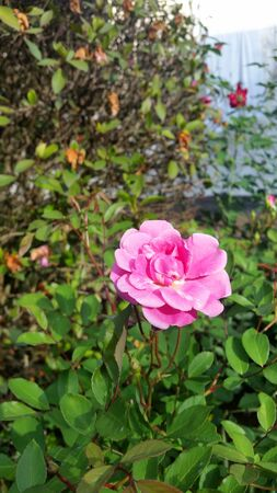 Beautiful pink rose in the garden Stock Photo