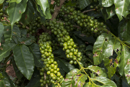 Close up of coffee plantation in farm
