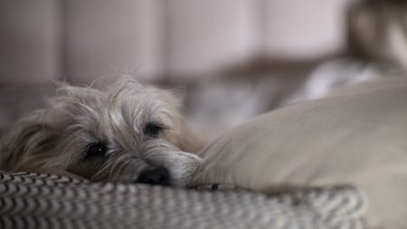 Dog lying quietly on the couch Stock Photo