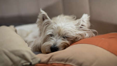 Beautiful white dog, sleeping between the pillows of the bed. The breed of the dog is a Westie Terrier.
